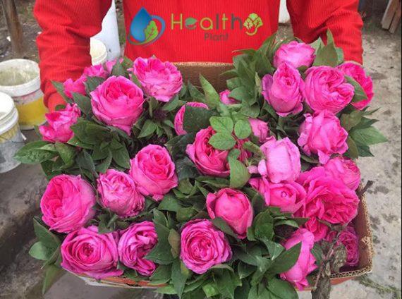 الورد المديني
