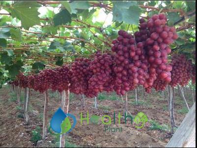 شتلات العنب