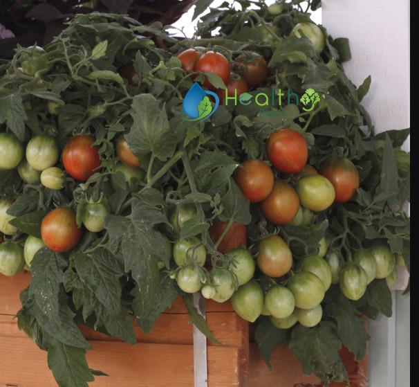 طماطم تونجار