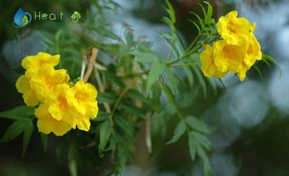نبات التيكوما