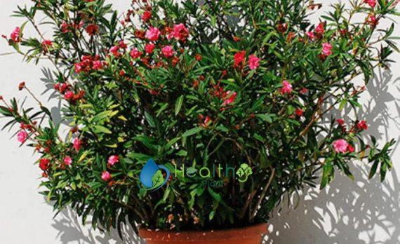 نبات الدفلة سعر الشتلة 35 ريال