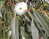 نبات الكافور