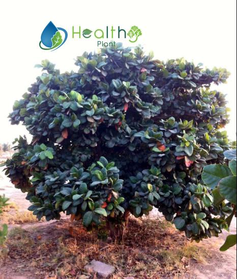 نبات اللوز البجلي سعر الشتلة 40 ريال