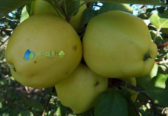 التفاح البلدي