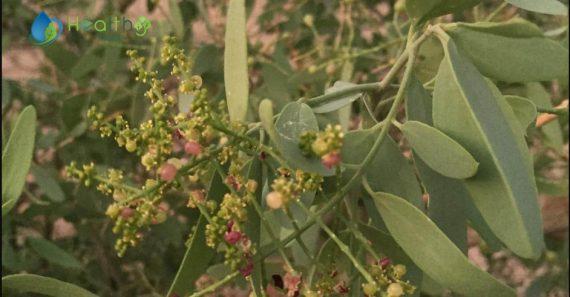 صور نبات الأراك(السواك، المسواك)