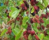 صور نبات التوت