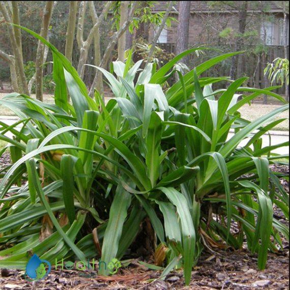 صور نبات الكرينيم