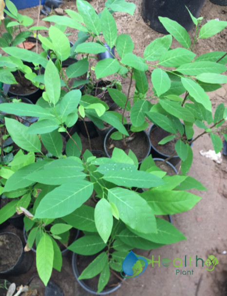 نبات القشطة