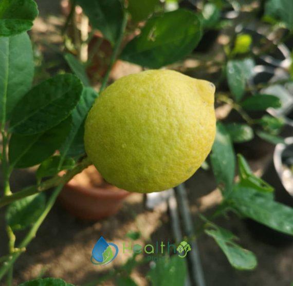 الليمون الصيني