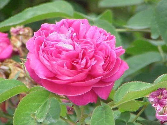 الورد السلطاني مزهر طول العام
