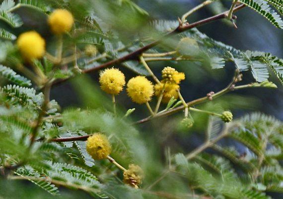 نبات الاكاسيا جلوكاطول