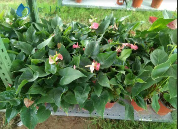 نبات الانتوريوم