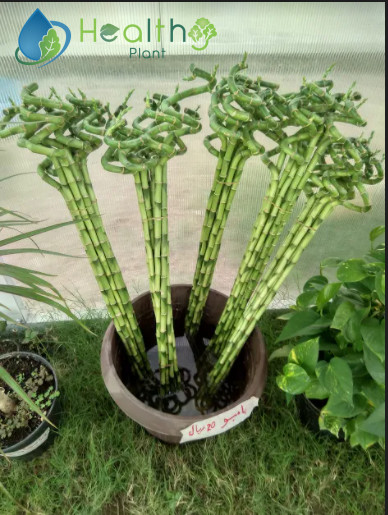 Bamboo 90cm