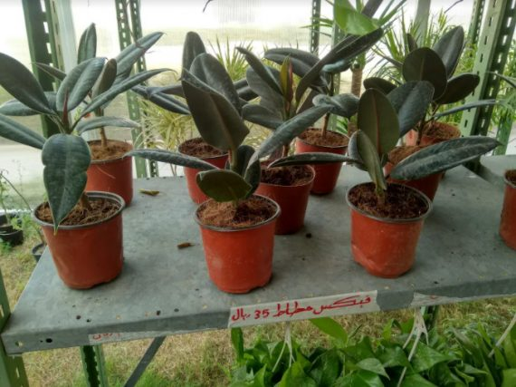 نبات الفكس المطاط