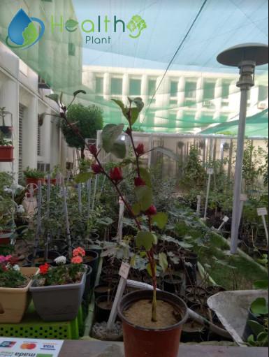 نبات الكركديه متوفر لدينا الان